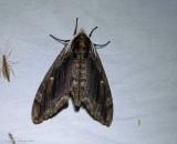 Elm sphinx  (Ceratomia amyntor), #7786
