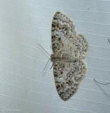 Unadorned carpet moth (Hydrelia inornata), #7422