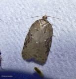 Lesser maple leafroller moth (Acleris chalybeana), #3539
