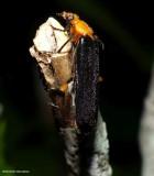 Fire-coloured beetle (Neopyrochroa femoralis)