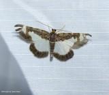 Common spring moth (eliomata cycladata), #6261