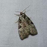 Marbled green leuconycta moth  (Leuconycta lepidula), #9066