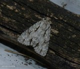 Speared dagger moth  (Acronicta hasta), #9229