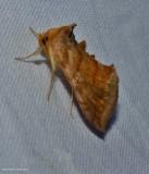Unspotted looper moth ( Allagrapha aerea), #8898