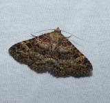 Common fungus moth   (Metalectra discalis), #8499