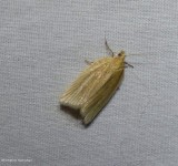 Tortricid moth (Clepsis clemensiana), #3684