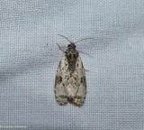 Tortricid moth (Apotomis albeolana), #2763