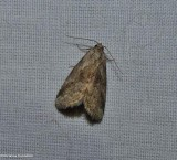 Graylet moth (Hyperstrotia sp.)