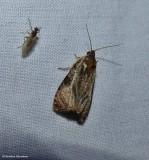 Tortricid moth (Olethreutes sp.)