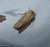 Many-lined wainscot moth  (Leucania multilinea), #10446