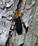 Fire-colored beetle (Neopyrochroa femoralis)