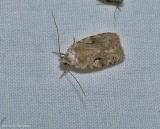 Curve lined agnopterix moth (Agonopterix curvilineella), #0859