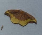Rose hooktip moth (Oreta rosea), #6255