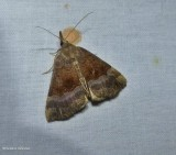 Gray-edged snout moth (Hypena madefactalis), #8447