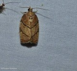 Hickory leafroller moth  (Argyrotaenia juglandana), #3622