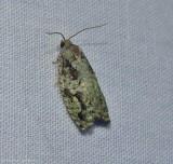 Maple bud borer moth  (Proteoteras moffatiana), #3235