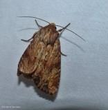 Wood colored apamea moth (Apamea lignicolora), #9333