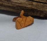 Yellow-collared slug moth  (Apoda y-inversum), #4667