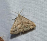 Slant-lined owlet moth (Macrochilo absorptalis), #8357