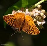 Great spangled fritillary butterfly (Speyeria cybele)