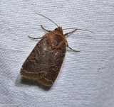 Cynical quaker moth (Orthodes cynica), #10597
