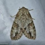 Fluid arches moth (Morrisonia latex),  #10291