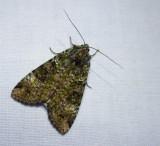 Green arches moth (Anaplectoides prasina), #11000