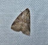 White-lned graylet moth (Hyperstrotia nana), #9035
