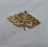 Bog lygropia moth  (Lygropia rivulalis),   #5250