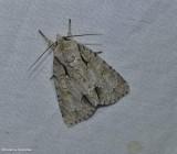 Ochre dagger moth (Acronicta morula), #9236