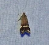 Twirler moth (Anacampsis tristrigella), #2251