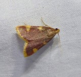 Clover hayworm moth (Hypsopygia costalis),   #5524