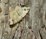 Common angle moth (Macaria aemulataria), #6326