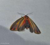 Painted lichen moth (Hypoprepia fucosa), #8090