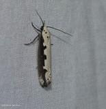 Viper's bugloss moth  (Ethmia bipunctella),   #0986