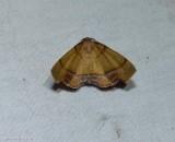 Straight lined plagodis moth (Plagodis phlogosaria), #6842