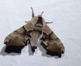 Twin-spotted sphinx   (Smerinthus jamaicensis,   #7821