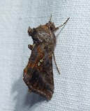 Common looper moth  (Autographa precationis), #8908