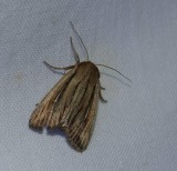 Two-lined wainscot (Leucania commoides), #10447