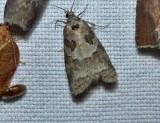 Gray tortrix  (Cnephasia stephensiana), #3567.1