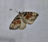 Carpet moth  (Dysstroma)