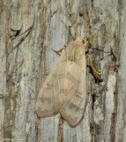 Banded tussock moth   (Halysidota tessellaris). #8203