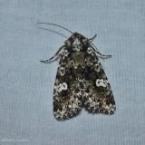 Hitched arches moth (Melanchra adjuncta), #10292