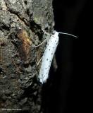 Orchard ermine moth (Yponomeuta padella), #2421