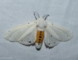 Salt marsh moth  (Estigmene acrea), #8131