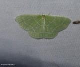 Wavy lined emerald moth ( Synchlora aerata), #7058