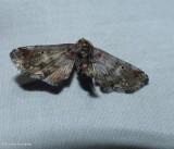 Dark marathyssa moth  ( Marathyssa inficita), #8955