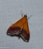 Pyralid and Crambid Snout Moths (Superfamily:  Pyraloidea):  4592 - 6019