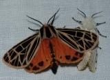 Parthenice tiger moth  (Apantesis parthenice), #8197