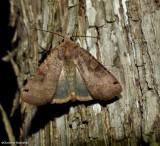 Smith's dart moth (Xestia smithii),  #10944